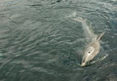 A common bottlenose dolphin swimming.