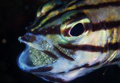 Cardinalfish dads protect their eggs by gingerly carrying them in their mouths.