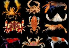 Colorful crustaceans from the Caribbean island of Guadeloupe.