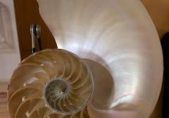 Various perspectives of a paper nautilus shell.