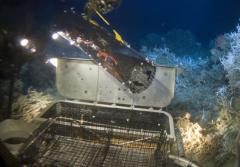 A robotic arm on the Johnson-Sea-Link submersible retrieves Galatheid crabs for research. In the background is a species of the deep-sea coral Lophelia.
