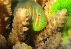 In some reefs, small fishes such as this broad-barred goby protect corals by eating invading seaweeds.