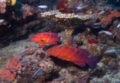 Two coral trout swim on a reef in Fiji.