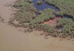 Dark brown oil floods a marsh after the Deepwater Horizon oil spill.