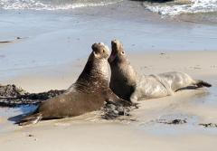 Male northern elephant seals face off for the best beach territory for mating season.
