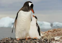 Gentoo penguin mother with her chick in Antarctica.