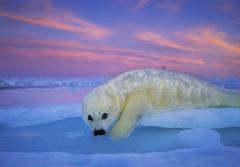 A harp seal pup rests on the ice at sunset in the Gulf of St. Lawrence, Canada.
