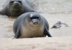 Hawaiian monk seal comes ashore