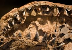A close-up image of a fossil shark jaw with teeth.