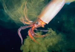 A humboldt squid releases ink.