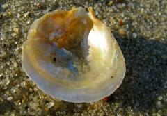 A shining jingle shell on the sand.