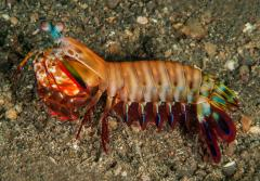 Mantis shrimp have built-in polarized vision to help them see underwater—and maybe even communicate.
