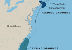 North Atlantic right whales migrate seasonally along the eastern coast of the United States.