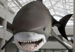Photograph of the model of a Giant Megatooth Shark, taken from the front..