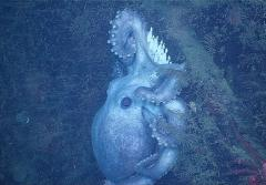A deep-sea octopus protecting her eggs