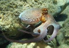 This common octopus (Octopus vulgaris) shows off its siphon, which it uses to propel itself through the water.