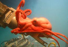 A deep-sea octopod wraps itself around a submersible's robotic arm in the Gulf of Mexico.