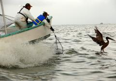 Researchers on a boat try to to catch an oiled pelican in the Gulf of Mexico off the Louisiana coast.