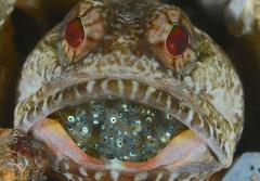 A dusky jawfish protects its eggs by holding them in his mouth.