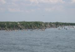 "Pelicans Roost at oil spill ""ground zero"" two years later."