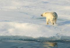 Polar bears have evolved to survive in the Arctic.