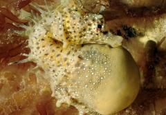 A male short-snouted seahorse with a pouch full of eggs.