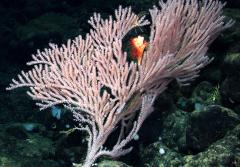 Tree corals like this Calyptrophora bayer can grow several meters high and resemble brightly colored trees.