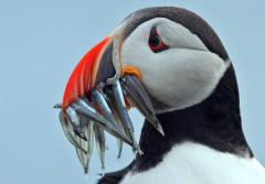 A puffin with a mouthful of fish.