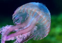 A purple jellyfish