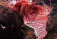 A fan-shaped colony of red coral (Corallium sp.) provides a perch for three basket stars as they feed.