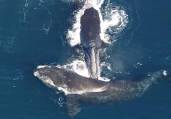 Photograph from above of two right whales, one touching the tip of its mouth to the back of the other..