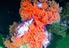 A rockfish finds refuge in a red tree coral, a deep-sea coral in the Olympic Coast National Marine Sanctuary.