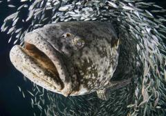 Goliath grouper during the annual spawning event in Jupiter, FL.