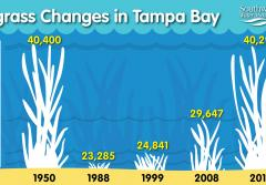 Infographic showing changes in Tampa Bay seagrass cover over time.