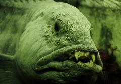 Despite its fearsome look, the Atlantic wolffish (or sea wolf) isn't a danger to humans, largely preying on whelks, crabs, and sea urchins.