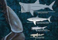 Shark Sizes: Whale Shark 46 feet, Basking Shark 33 feet, Great White Shark 23 feet, Megamouth Shark 15 feet, Nurse Shark 13 feet, Mako Shark 8 feet, Blacktip Reef Shark 6.5 feet, Bonnethead Shark 3.4 feet, Dwaf Lantern Shark 6 inches