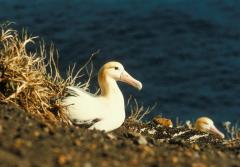 Only 2,000 individuals of the endangered short-tailed albatross remain after the species was hunted for its feathers in the 1940s.