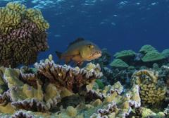 A red snapper hunts for prey on Kingman's Reef, a healthy reef in the Line Islands.