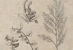 "As soon as Dampier set foot in Australia, he began making observations and collecting specimens of plants, which he carefully pressed between the pages of books to be studied by the ""ingenious"" and ""curious"" upon his return to England. As Dampier conducted his investigations, his artist made detailed sketches like these."