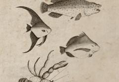 Illustrations of fish and crab from New Guinea