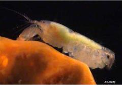 Snapping shrimp queen with eggs.