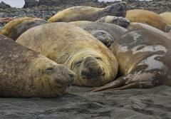Elephant seals' eyes are specialized to dim light and, in particular, to light at the wavelength of 485 nm -- which is the same wavelength given off by the bioluminescent lanternfish that are the seals' main prey.