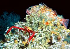 A squat lobster and blackbelly rosefish find shelter on a Lophelia pertusa coral reef off the southeastern United States.