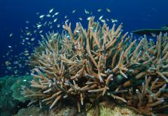 The staghorn coral is listed as Threatened under the U.S. Endangered Species Act. It is one of 22 coral species listed.