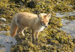 A fox explores a tide pool.