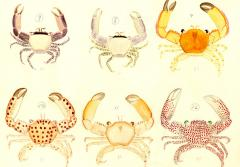Beautiful crab water colors