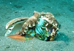 A veined octopus briefly leaves its hiding place, a shell, to devour a crab.