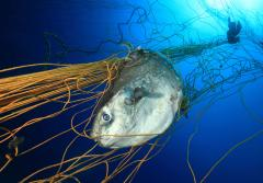 Every year in Sardinia, Italy. tuna is fished using a large fixed net anchored on the bottom for the purpose to keep the fish inside to grow calm. But other animals like sunfish (shown here), turtles, dolphins, and others are also captured in the net, and
