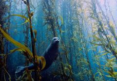 Harbor seal in a kelp forest near Cortes Bank, near San Diego California.
