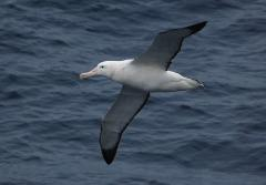Wandering albatross soars over the ocean